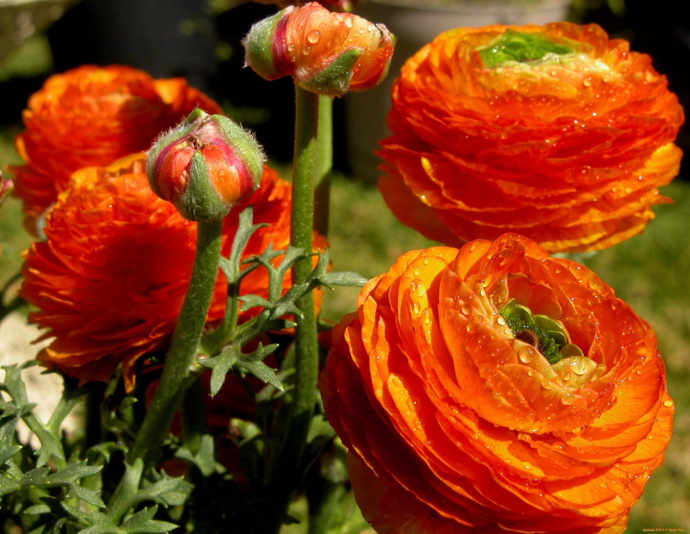 Цветы лютики фото и все о цветах